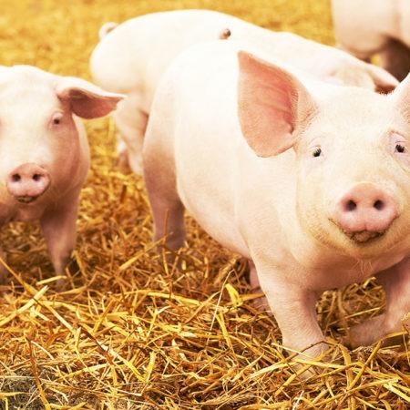 Pig Pass NLIS Pig Identification Rules
